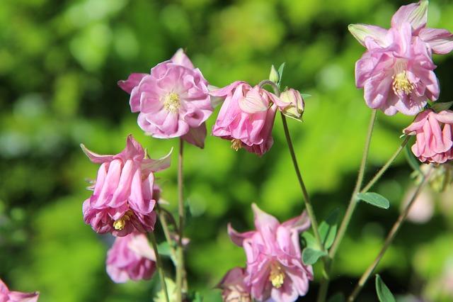 kwiaty ogrodowe wieloletnie wysokie
